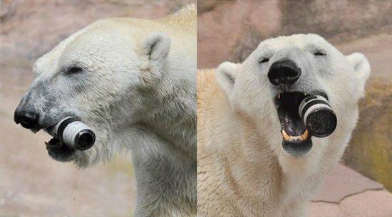Canon EF 70-200mm f/2.8L IS II USM и белый медведь (не реклама)